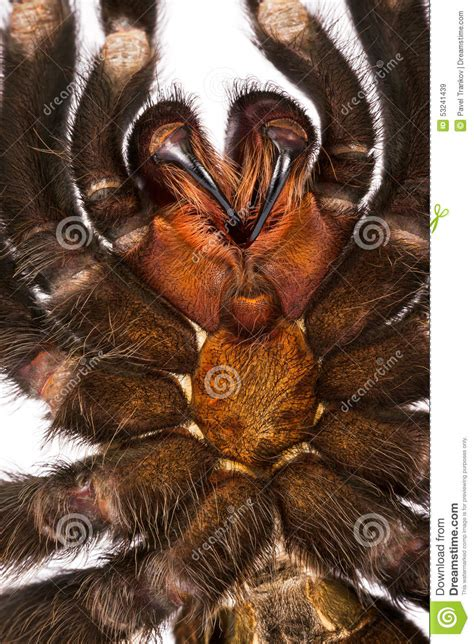 tarantula teeth stock photo image 53241439