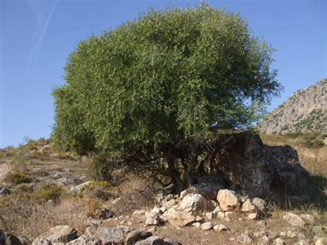 La Serranía Natural » Blog Archive » Acebuche