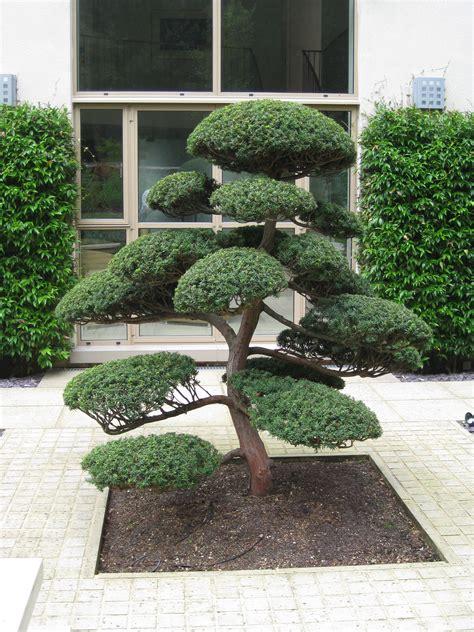 arbres nuage japonais bonsai geant juniperus virg glauca acheter vos arbres chez le