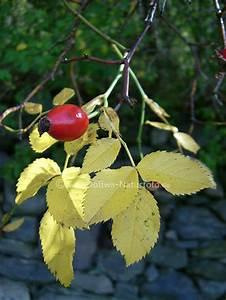 Lorbeer Gelbe Blätter : hagebutte beere frucht foto gelbe bl tter der hundsrose rosa canina ~ Markanthonyermac.com Haus und Dekorationen