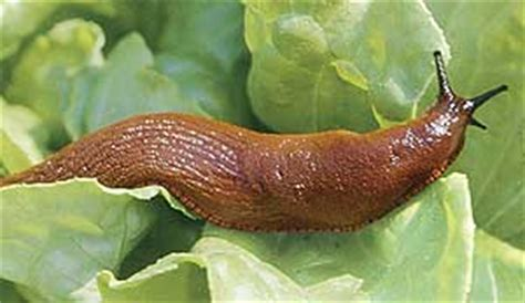 Pictures Of Slugs In The Garden slugging it out