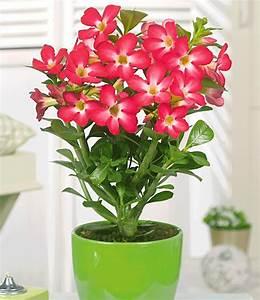 Pflegeleichte Zimmerpflanzen Mit Blüten : w sten rose 39 rot 39 zimmerpflanzen a z bei baldur garten ~ Markanthonyermac.com Haus und Dekorationen