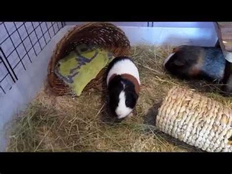 testing out aspen bedding for the guinea pigs c c cage