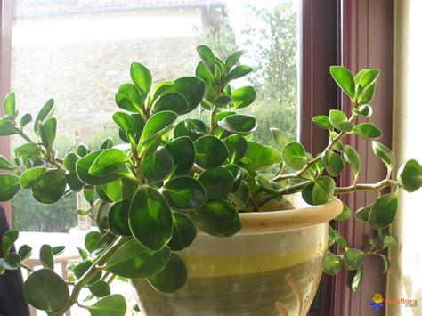 photo plante quot grasse quot 224 forte croissance
