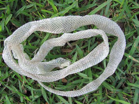 shed snake skin corn snake by hendyfinds