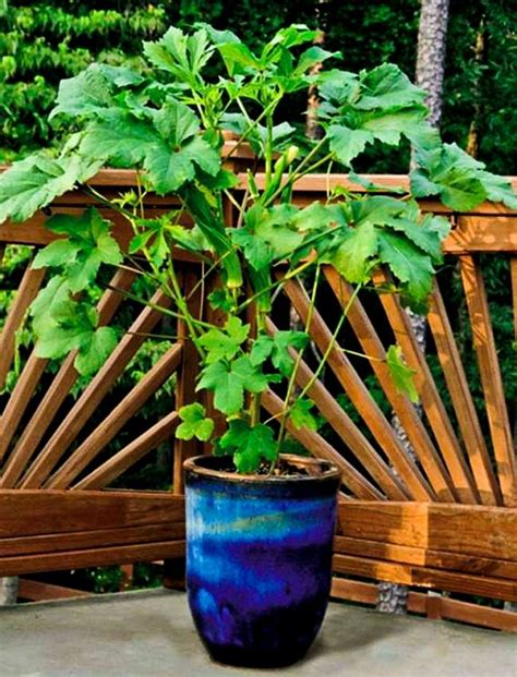growing okra in pots how to grow okra in containers balcony garden web