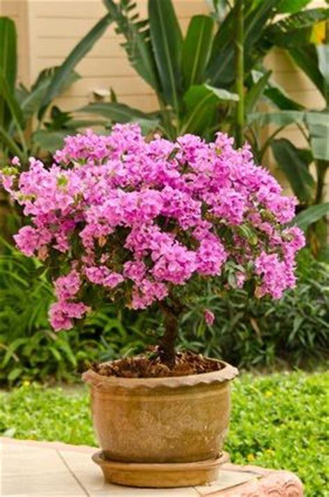 un cadeau fleuri et plein de vie le bougainvillier en pot