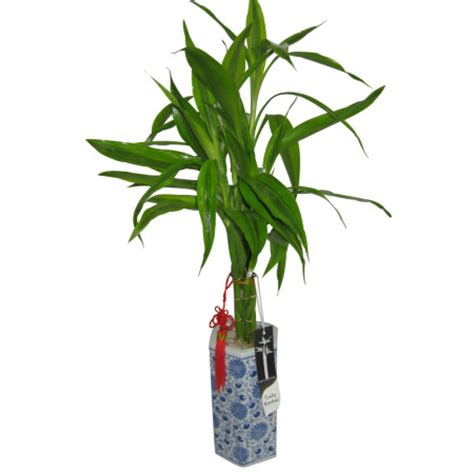 lucky bamboo potted plant