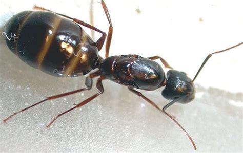 des fourmis charpenti 232 res dans la maison a 224 z extermination