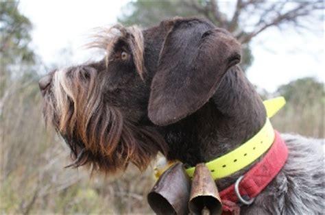 elevage des roches de l escaillon eleveur de chiens griffon d arr 234 t 224 poil dur korthals
