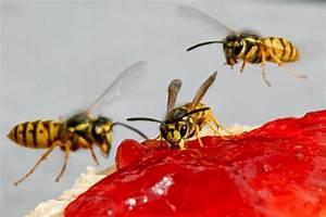 Was Wespen Nicht Mögen : wie sch tzt man sich vor bienen und wespen ~ Markanthonyermac.com Haus und Dekorationen