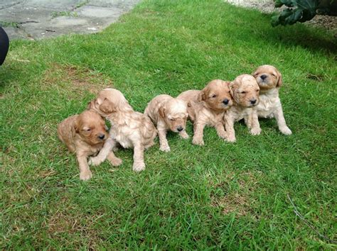 low shedding dogs uk miniature cavapoo puppies low non shedding for sale