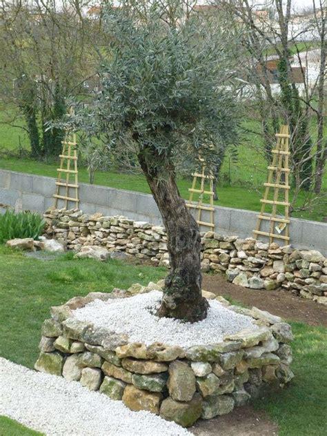 il 233 tait en pot maintenant il est plant 233 hors sol mon olili mon olili mon olivier