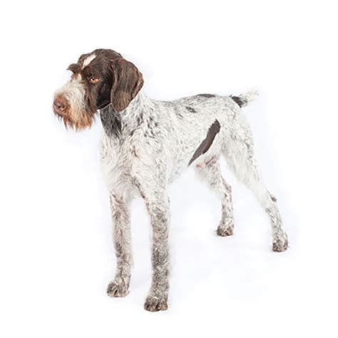 100 german wirehaired pointer shed st louis carlton county pheasants forever