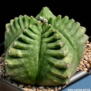Astrophytum myriostigma cv. KIKKO nudum (Syn: Kikkô ...