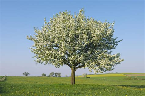 Kitchen Orchard by Growing The Pear Tree Pyrus Communis