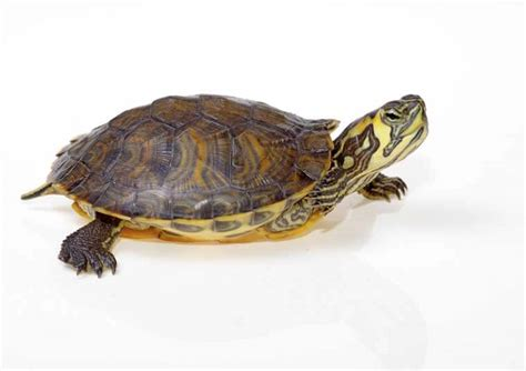 everything you need to about caring for baby box turtles