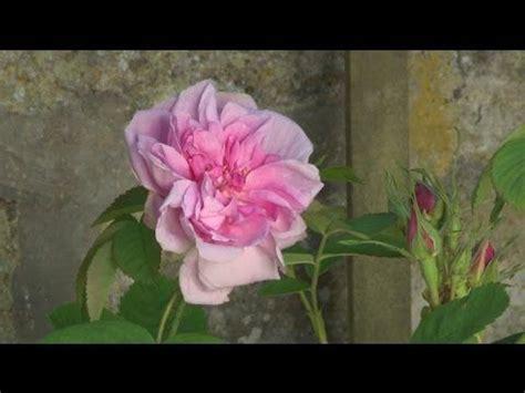 17 meilleures id 233 es 224 propos de rosier en pot sur arbuste 224 fleurs blanches