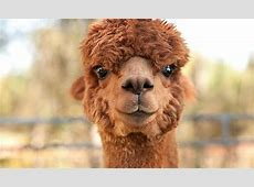 Good Karma Ranch Alpacas