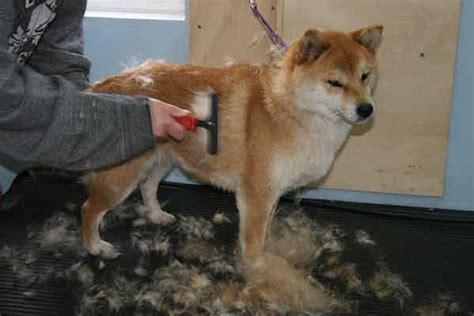 do akita dogs shed hair how to manage the shedding shiba inu