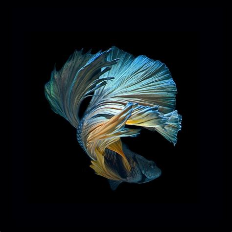 Iphone 6s Betta Fish Wallpaper