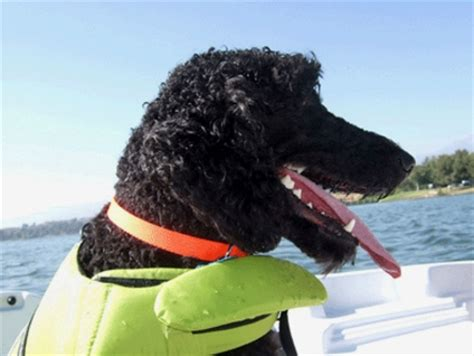 Boat Driving Dog by Best Dog Breeds For Boaters Boat Trader Waterblogged