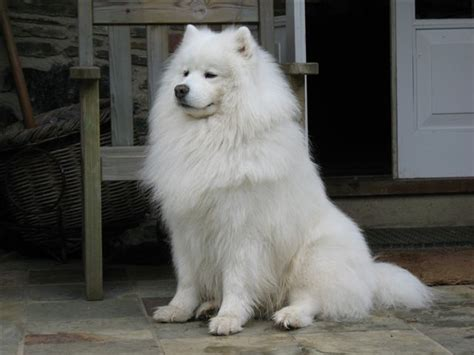 Do Pomskies Shed Fur by Image Gallery Samoyed Fur