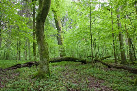 Natural Deciduous Forest At Spring Stock Image Image