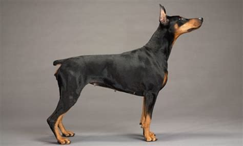 dogs with pointy ears breeds breeds picture