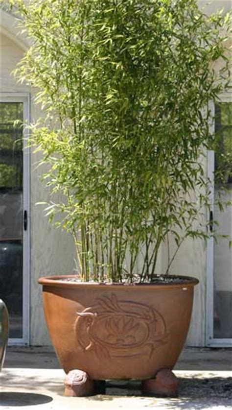 privacy potted bamboo plants frequently asked questions