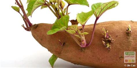 culture de la patate douce jardipartage