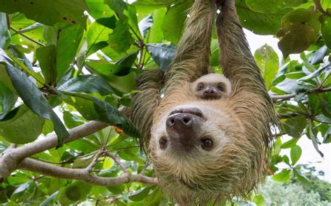 Mom And Baby Sloth Pictures, Photos, And Images For Facebook, Tumblr, Pinterest, And Twitter Types Of Braid Extensions For Natural Hair Quick Weave Hairstyles Long Short Wavy Curly How To Wear A Bandana In Your Pin Up Style Medium Length Wedding Hairstyle Finder Upload Photo Mens 2016 Straight Haircuts