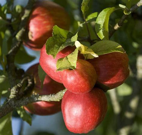 Fruit Tree Nursery Uk Thenurseries