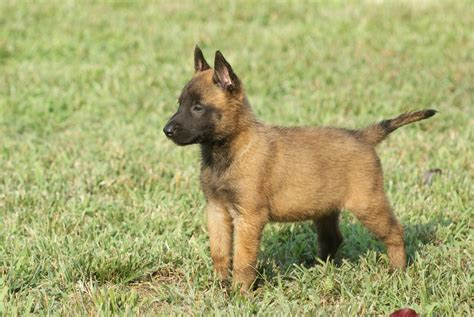 chiot malinois uncompagnon fr