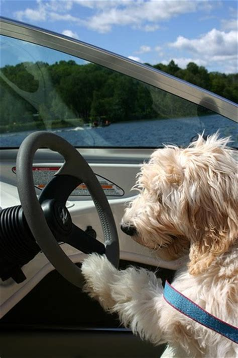 Boat Driving Dog by Dogs Driving Is That Dog Driving A Boat