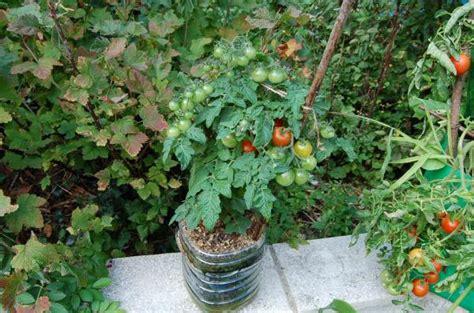 quelle vari 233 t 233 de tomate pour la culture en pots page 2 semences partage net