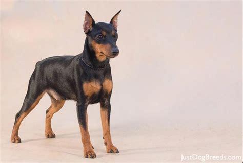 Do Miniature Pinschers Shed by Miniature Pinscher Breed Remarkable Dogs Breeds