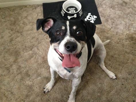 raggle rat terrier x beagle mix info temperament