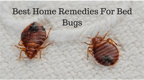 are bed bugs contagious are bed bug contagious bedding sets