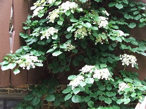 Mutiny In The Garden Climbing Hydrangea What You Should Know