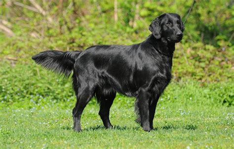 flat coated retriever breed information and images