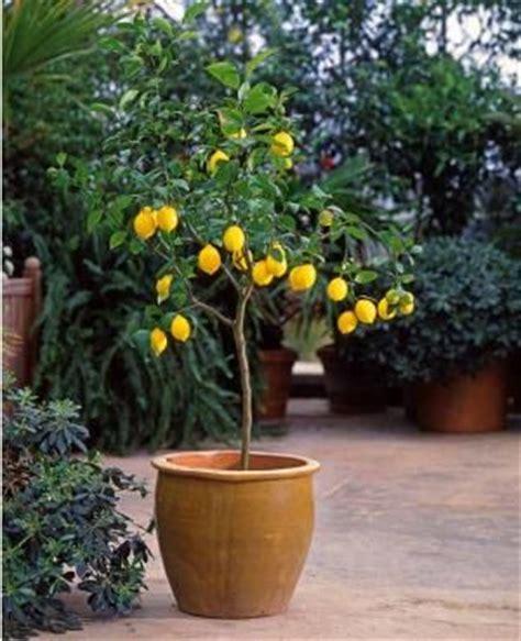 citronnier en pot plantes arbres tilleuls et terrasse