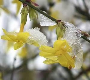 Jasmin Zimmerpflanze Pflege : winter jasmin dehner garten center ~ Markanthonyermac.com Haus und Dekorationen