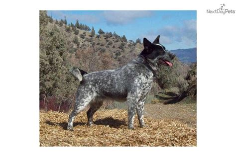 the gallery for gt australian shepherd and lab mix temperament