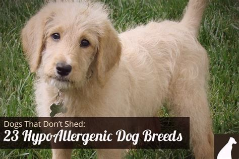 list non shedding hypoallergenic dogs pictures hypoallergenic breeds dogs cats and elephants oh