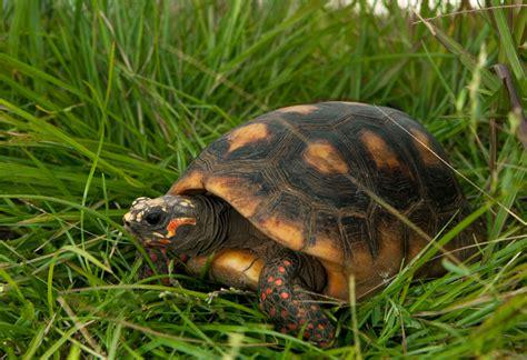 tortue charbonni 232 re savanes de guyane