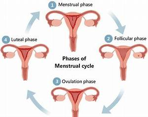 An Introduction to 4 Menstrual Cycle Phases (with Pictures ...