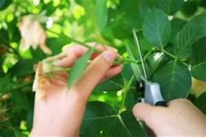 Kletterrosen Richtig Pflanzen : ramblerrosen schneiden wann wie und warum ~ Markanthonyermac.com Haus und Dekorationen