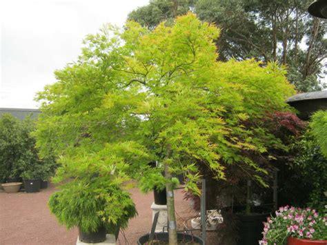 l 233 rable du japon au jardin arbre humble 224 coloris flamboyant