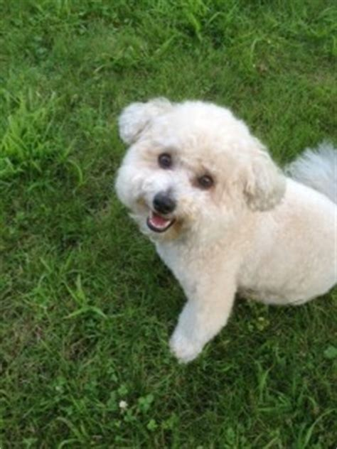 100 do jackie bichon shed bichon frise puppies and
